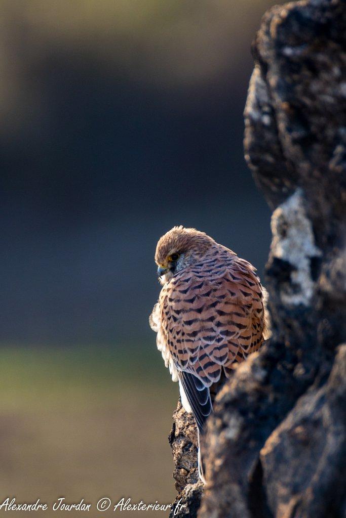 Faucon crécerelle femelle (Falco tinnunculus)