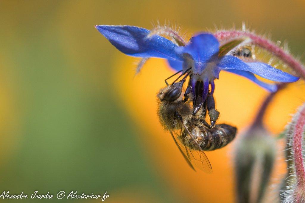 Abeille domestique (Apis mellifera) sur fleur de bourrache (Borago officinalis)