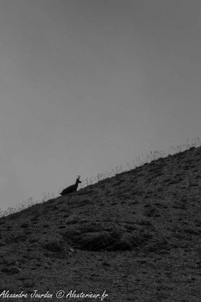 Chamois (Rupicapra rupicapra)