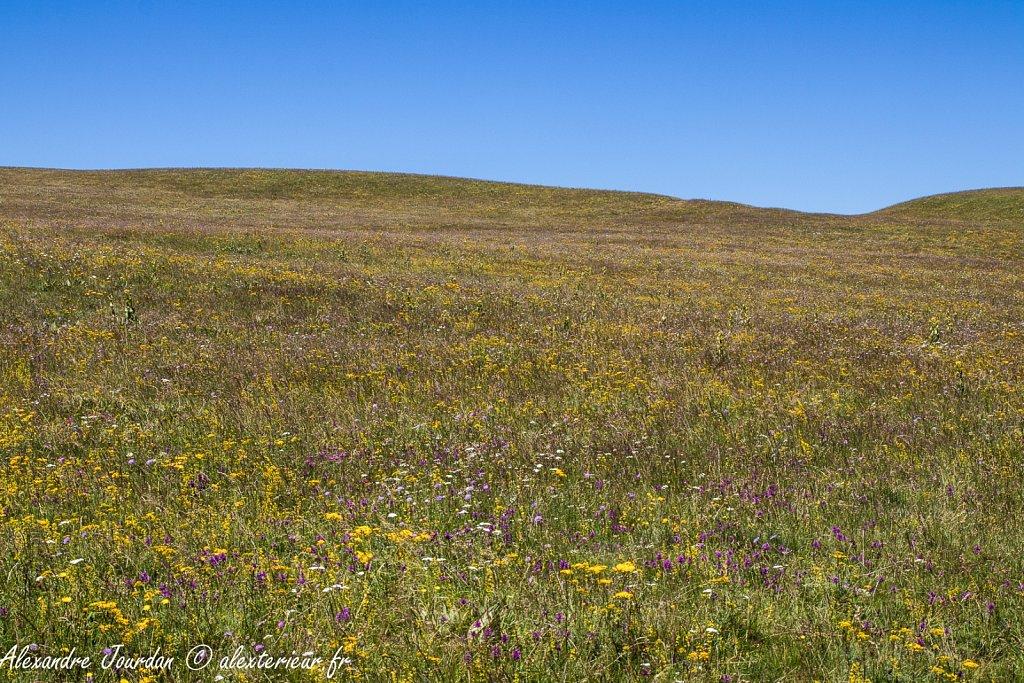 Prairie fleurie du Cézallier