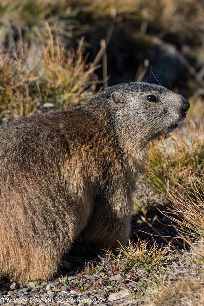 Marmotte (Marmota marmota)
